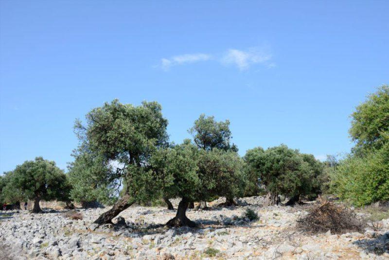 eiland Pag, olijfgaarden in Lun