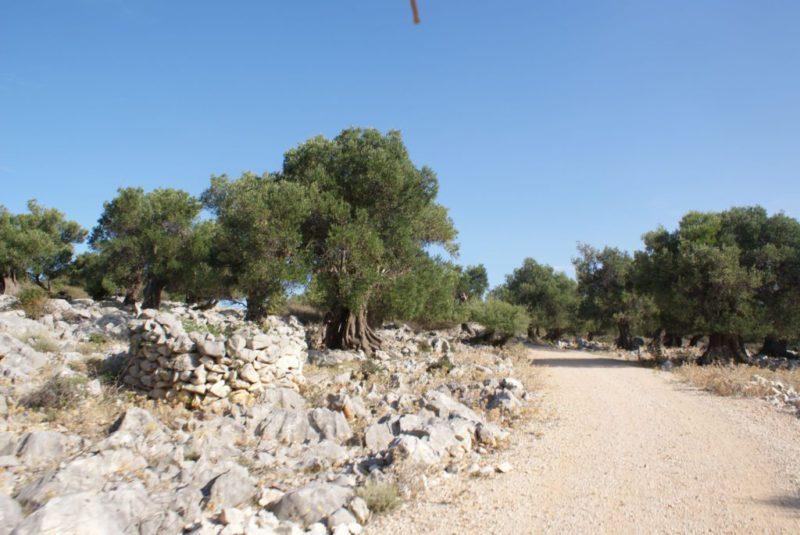 De olijfgaarden van Lun , een beschermd natuurgebied