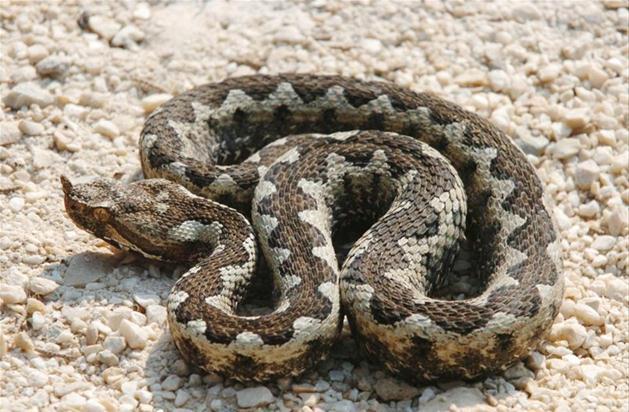zandadder, giftige slang uit de familie adders