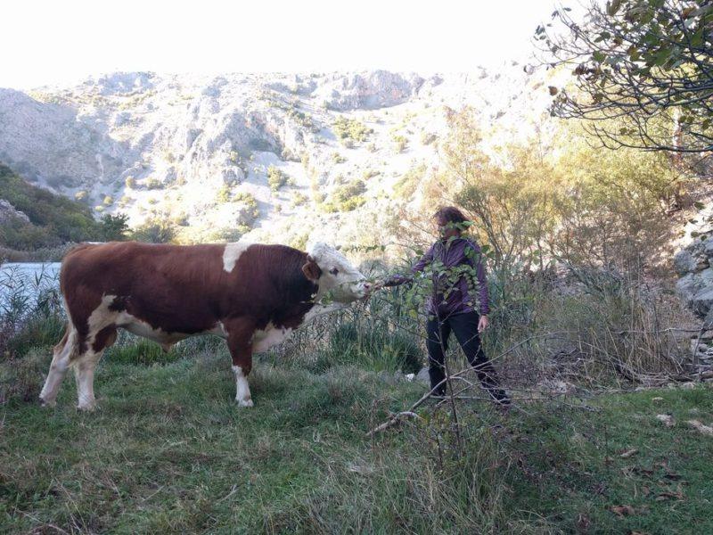 de wandelvrouw en de koe aan de krupa rivier